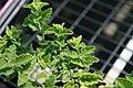 Verbena canadensis Taylortown Red 4zz.jpg
