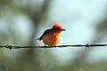 Vermilion flycatcher (Pyrocephalus rubinus) (5295735518).jpg