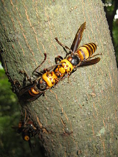 Asian giant hornet species of insect