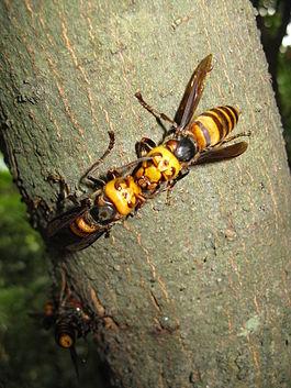 Ölümcül Japon hornets