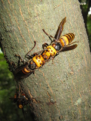 Asian giant hornet - Adults engaging in trophallaxis