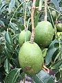 Vi Tahiti Pomme Cythere.jpg