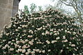 Viburnum rhytidophyllum in Budapest.jpg