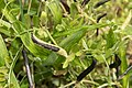 Vicia sativa subsp. nigra 04.jpg