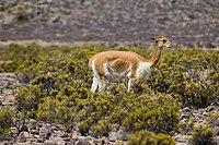 Vicuña en el sur del Perú, Región Arequipa.