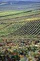 Vigne Pinot Noir(Champagne) Cl vrt .J.Weber (23049580544).jpg