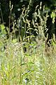 Vincetoxicum rossicum 5474090.jpg
