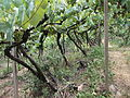 Vinhas da Vinícola Torcello (Bento Gonçalves, Brasil).JPG