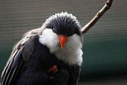 Vini peruviana -captive-8a