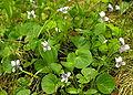 Viola palustris2 resize.jpg