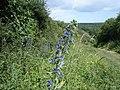 Viper's Bugloss - Echium vulgare - geograph.org.uk - 1471995.jpg