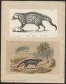 Viverra civetta - 1700-1880 - Print - Iconographia Zoologica - Special Collections University of Amsterdam - UBA01 IZ22400007.tif
