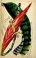 Vriesea splendens (as Vriesea speciosa, spelled Vriesia speciosa) - Curtis' 74 (Ser. 3 no. 4) pl. 4382 (1848).jpg