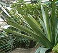 Vriesea tuerckheimii BotGardBln07122011G.jpg
