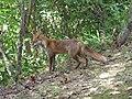 Vulpes vulpes japonica1.jpg