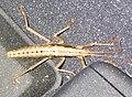 Walking Stick -- Anisomorpha.jpg