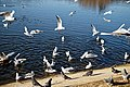 Wanstead Park Heronry Pond, gulls and pigeons, Epping Forest, England 02.jpg