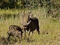 Warthogs (Phacochoerus africanus) (7030008671).jpg