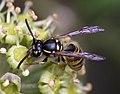 Wasp (3992376437).jpg