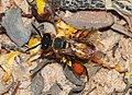 Wasp and bee August 2008-3.jpg