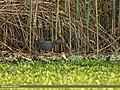 Water Rail (Rallus aquaticus) (34250210796).jpg