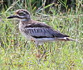 Water Thick-Knee (8450710053).jpg