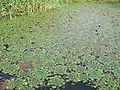 Water caltrop on lake.JPG