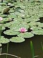 Waterlilies (9579110056).jpg