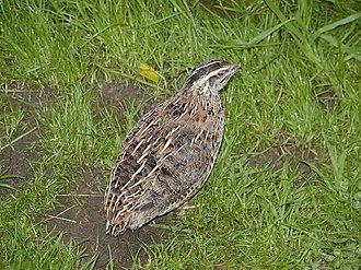 Common quail - Image: Weibliche Wachtel (Coturnix coturnix)
