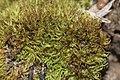 Weissia longifolia (a, 153208-482342) 1486.JPG