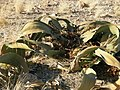 Welwitschia mirabilis S&J4.jpg