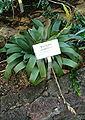 Werauhia viridiflora HabitusInflorescence BotGardBln091006b.jpg