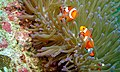 Western Clown Anemonefish (Amphiprion ocellaris) (6053239648).jpg