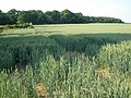 Wheat field, north of Brampford Speke - geograph.org.uk - 1369322.jpg