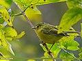 Whistler's Warbler (Seicercus whistleri) (25425813723).jpg