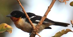 White-rumped Tanager (7980217735) (cropped).jpg