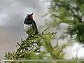 White-tailed Rubythroat (Luscinia pectoralis) (22966887305).jpg