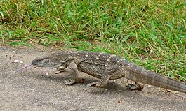 White-throated Monitor (Varanus albigularis) (5984080381).jpg