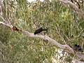 White-winged Choughs in a River Red Gum.jpg