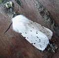 White Ermine. Male - Flickr - gailhampshire.jpg