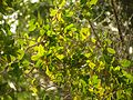 White Mangrove - Flickr - treegrow.jpg