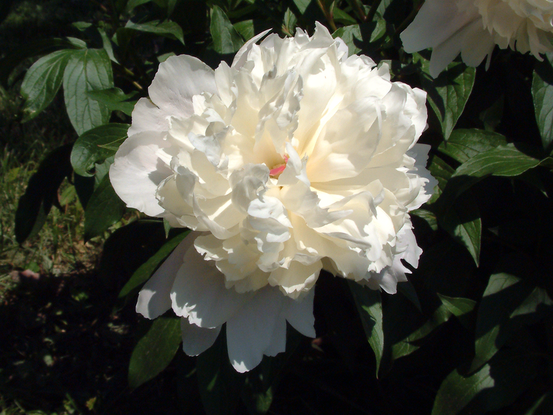 File:White peony.png