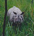 White rhinoceros in the natural park in Nepal.jpg
