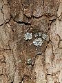 Wien-Penzing - Naturdenkmal 46 - Platane (Platanus x hybrida) - Rinde mit Flechten.jpg