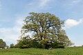 Wien-Penzing - Steinhofgründe - Naturdenkmal 708 - Zerreiche (Quercus cerris) - III.jpg