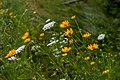 Wild False Yellow Sunflowers PLT-FL-DS-19.jpg