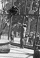 Willem van de Poll in de dierentuin van Vincennes met een aap in een apenverblij, Bestanddeelnr 252-1371.jpg