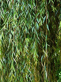 Willow Salix babylonica