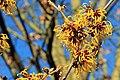 Witch-hazel (Hamamelis) In Flower. RHS Wisley Garden Surrey UK.jpg