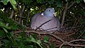Wood Pigeon Nest 12-06-09 (4483079508).jpg